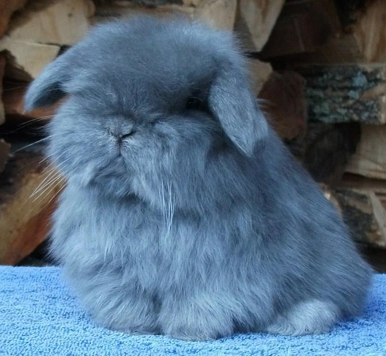 american fuzzy lop pictures to pin on pinterest   pinsdaddy